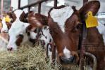 """Молодые быки агропромышленного холдинга """"Рассвет"""""""