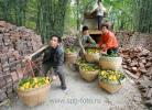 Крестьяне выгружают апельсины из грузовика и несут их на причал