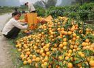Апельсиновые сады южного Китая, сбор и  расфасовка урожая, фото