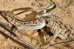 Брачный период у живородящих ящериц в астраханской пустыне, фото
