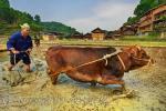 Китаец пашет на корове, если глаза меня не обманывают и насколько мои познания в биологии позволяют об этом судить