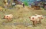 Китайская свинина  нагуливает вес в провинции Guizhou (贵州)