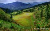 Рисовое поле заросло ряской