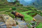 Горная дорога, выложенная камнем, и китайский землепашец с буйволом, направляющийся к рисовым полям на склоне