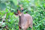 На фото карликовая антилопа дик-дик в национальном парке Озеро Маниара, республика Танзания