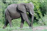 Поскольку слоны в Маниара замещали отсутствующих львов и леопардов, я покажу Вам всю коллекцию, отснятую в этом национальном парке