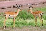 На фото африканская антилопа импала