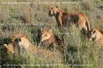 Национальный парк Серенгети, в Танзании