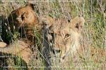 Львята лежали так близко от джипа, что их неудобно было фотографировать телевиком