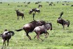 На фото миграция антилопы гну в национальном парке Серенгети, в Танзании