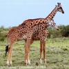 Проявление жирафьей нежности может быть и не любовной игрой самки и самца, а потасовкой двух самцов