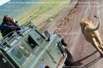 Джип сафари в Нгоро-Нгоро, фотоохота на львов