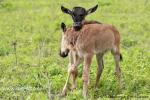 Это было подмечено еще закадровым голосом в передачах о дикой природе: Телята антилопы гну, не так уродливы, как их родители