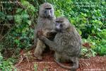 Когда бабуины подходили близко к открытому окну джипа, гид предупреждал нас об опасности