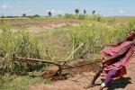 Масай подросток с трудом удерживает металлическую соху, которую тянут 6 воловьих сил
