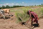 Масайский юноша не пашет землю, а пытается притормозить волов, вгоняя соху в землю