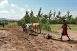 Мальчик Масай на, этой фотографии, не пашет дорогу, а доставляет соху и буйволов на поле, единственным доступным способом