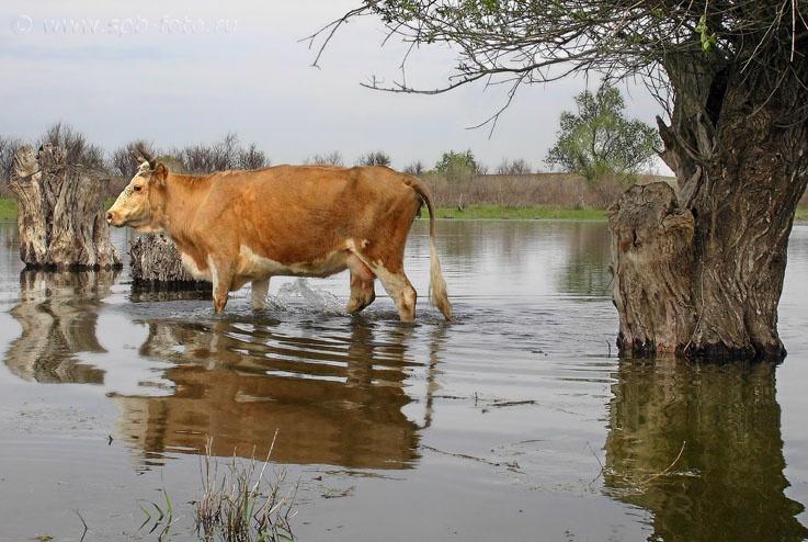 Золотая корова
