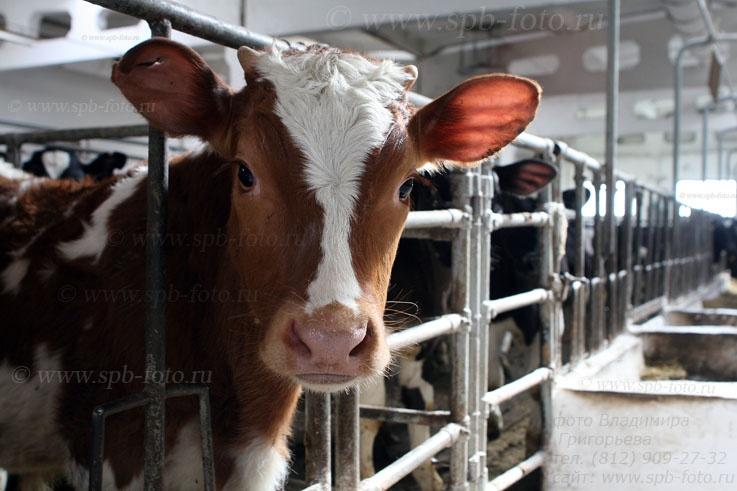 Фотосессия на мясной ферме, по заказу животноводов