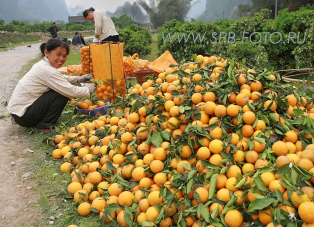 Сбор урожая апельсинов в Гуанси, Китай