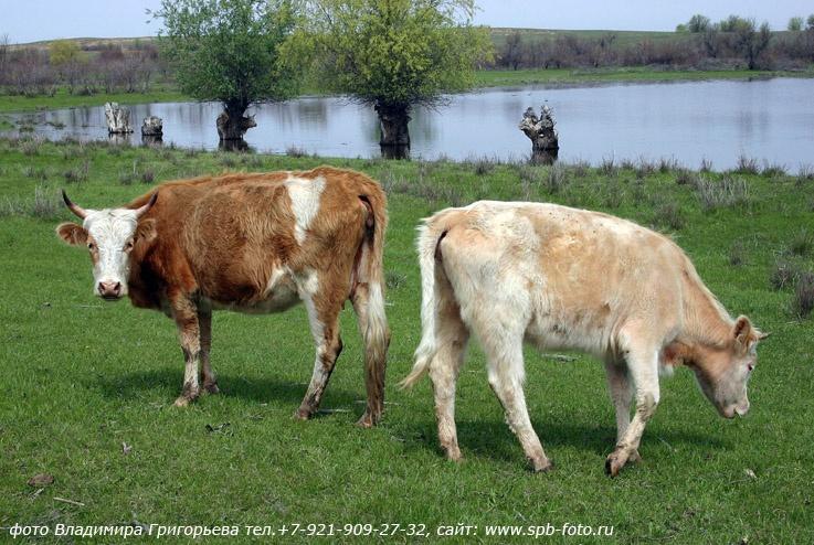 Коровы на волжском разливе
